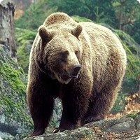 Многие считают, что медведи ленивые и неуклюжие животные. Но это заблуждение. На самом деле медведи очень энергичны и подвижны, очень ловко могут забираться на деревья.  Места обитания бурых медведей разбросаны по всему миру, но их становится все меньше. Поэтому их занесли в Красную книгу.       Сайлюгемская популяция бурого медведя занесена в красную книгу республики Алтай.  Алтайское название всех медведей –айу. На Алтае медведи- достаточно обычные, а кое-где еще и довольно многочисленные звери. Принятые меры по охране – кроме занесения в Красную книгу республики и соответствующего запрета на добычу медведей этой группировки Правилами охоты от 1996 г. другие меры охраны сайлюгемской популяции не предпринимались.  Необходимые меры охраны -  ужесточение контроля и штрафных санкций за добычу медведей этой популяции, широкая пропаганда необходимости охраны и сбережения редких животных в СМИ.    фото 2