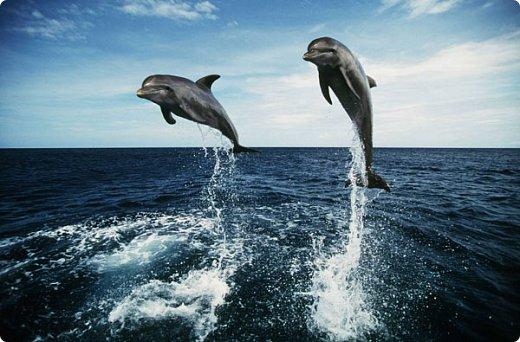 У большинства людей дельфины вызывают чувство необъяснимого восторга, искренности и нежности. Человек, хоть раз увидевший дельфинов, на всю жизнь влюбляется в этих удивительных животных.   фото 2