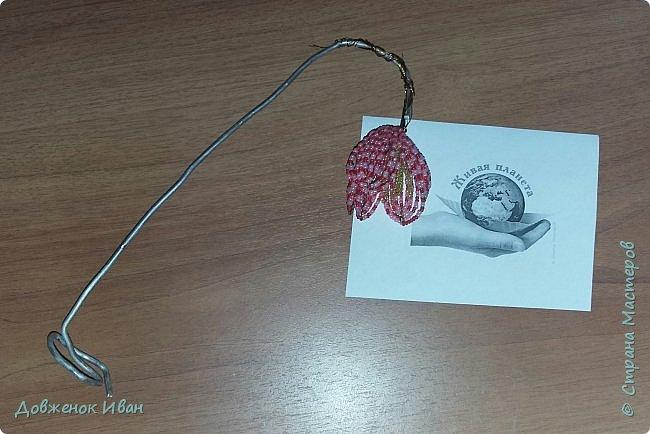Растение многолетнее.. Луковица сплюснутая, около 1,2 см в диам., состоит из нескольких белых чешуек. Листьев обычно в числе 2–6, линейные, сизоватые, до 15 см дл. и 0,3–0,6 см шир. Отмирают в июне. Цветки одиночные, реже их 2–3, колокольчатые, поникающие, ярко-красно-коричневые, с шахматным рисунком или белые. Цветет в мае – июне. Этот цветок по-научному величают «фритиллярия» или «фритиллария», а шахматную разновидность - Fritillaria meleagris. Такое изысканное название происходит от латинского «fritillus». Распространение. Встречается на территории Майминского и Шебалинского районов. За пределами республики распространен в Алтайском крае, Северо- Восточном Казахстане и Западной Европе [1]. Особенности экологии и фитоценологии. Растет на заболоченных лугах, травяных болотах, реже во влажных лесах и зарослях кустарников. Численность и состояние локальных популяций. В долинах рек Сема, Песчаная и Майма на переувлажненных лугах, образует ранне-весенний аспект [2]. фото 8