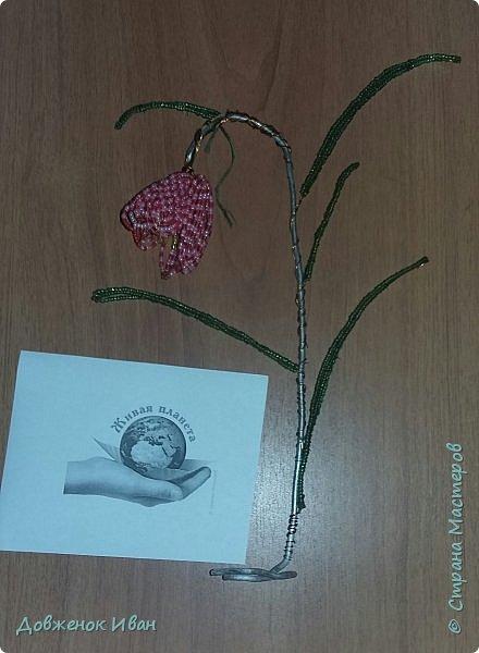 Растение многолетнее.. Луковица сплюснутая, около 1,2 см в диам., состоит из нескольких белых чешуек. Листьев обычно в числе 2–6, линейные, сизоватые, до 15 см дл. и 0,3–0,6 см шир. Отмирают в июне. Цветки одиночные, реже их 2–3, колокольчатые, поникающие, ярко-красно-коричневые, с шахматным рисунком или белые. Цветет в мае – июне. Этот цветок по-научному величают «фритиллярия» или «фритиллария», а шахматную разновидность - Fritillaria meleagris. Такое изысканное название происходит от латинского «fritillus». Распространение. Встречается на территории Майминского и Шебалинского районов. За пределами республики распространен в Алтайском крае, Северо- Восточном Казахстане и Западной Европе [1]. Особенности экологии и фитоценологии. Растет на заболоченных лугах, травяных болотах, реже во влажных лесах и зарослях кустарников. Численность и состояние локальных популяций. В долинах рек Сема, Песчаная и Майма на переувлажненных лугах, образует ранне-весенний аспект [2]. фото 9