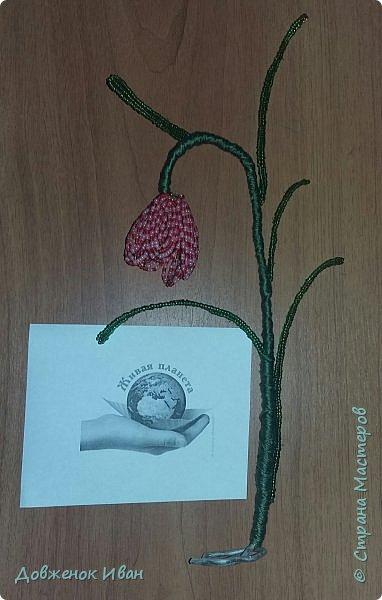 Растение многолетнее.. Луковица сплюснутая, около 1,2 см в диам., состоит из нескольких белых чешуек. Листьев обычно в числе 2–6, линейные, сизоватые, до 15 см дл. и 0,3–0,6 см шир. Отмирают в июне. Цветки одиночные, реже их 2–3, колокольчатые, поникающие, ярко-красно-коричневые, с шахматным рисунком или белые. Цветет в мае – июне. Этот цветок по-научному величают «фритиллярия» или «фритиллария», а шахматную разновидность - Fritillaria meleagris. Такое изысканное название происходит от латинского «fritillus». Распространение. Встречается на территории Майминского и Шебалинского районов. За пределами республики распространен в Алтайском крае, Северо- Восточном Казахстане и Западной Европе [1]. Особенности экологии и фитоценологии. Растет на заболоченных лугах, травяных болотах, реже во влажных лесах и зарослях кустарников. Численность и состояние локальных популяций. В долинах рек Сема, Песчаная и Майма на переувлажненных лугах, образует ранне-весенний аспект [2]. фото 10