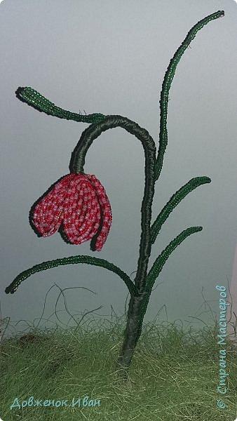 Растение многолетнее.. Луковица сплюснутая, около 1,2 см в диам., состоит из нескольких белых чешуек. Листьев обычно в числе 2–6, линейные, сизоватые, до 15 см дл. и 0,3–0,6 см шир. Отмирают в июне. Цветки одиночные, реже их 2–3, колокольчатые, поникающие, ярко-красно-коричневые, с шахматным рисунком или белые. Цветет в мае – июне. Этот цветок по-научному величают «фритиллярия» или «фритиллария», а шахматную разновидность - Fritillaria meleagris. Такое изысканное название происходит от латинского «fritillus». Распространение. Встречается на территории Майминского и Шебалинского районов. За пределами республики распространен в Алтайском крае, Северо- Восточном Казахстане и Западной Европе [1]. Особенности экологии и фитоценологии. Растет на заболоченных лугах, травяных болотах, реже во влажных лесах и зарослях кустарников. Численность и состояние локальных популяций. В долинах рек Сема, Песчаная и Майма на переувлажненных лугах, образует ранне-весенний аспект [2]. фото 1