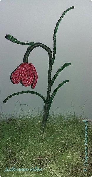 Растение многолетнее.. Луковица сплюснутая, около 1,2 см в диам., состоит из нескольких белых чешуек. Листьев обычно в числе 2–6, линейные, сизоватые, до 15 см дл. и 0,3–0,6 см шир. Отмирают в июне. Цветки одиночные, реже их 2–3, колокольчатые, поникающие, ярко-красно-коричневые, с шахматным рисунком или белые. Цветет в мае – июне. Этот цветок по-научному величают «фритиллярия» или «фритиллария», а шахматную разновидность - Fritillaria meleagris. Такое изысканное название происходит от латинского «fritillus». Распространение. Встречается на территории Майминского и Шебалинского районов. За пределами республики распространен в Алтайском крае, Северо- Восточном Казахстане и Западной Европе [1]. Особенности экологии и фитоценологии. Растет на заболоченных лугах, травяных болотах, реже во влажных лесах и зарослях кустарников. Численность и состояние локальных популяций. В долинах рек Сема, Песчаная и Майма на переувлажненных лугах, образует ранне-весенний аспект [2]. фото 11