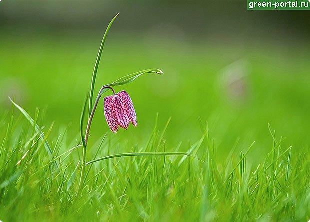 Растение многолетнее.. Луковица сплюснутая, около 1,2 см в диам., состоит из нескольких белых чешуек. Листьев обычно в числе 2–6, линейные, сизоватые, до 15 см дл. и 0,3–0,6 см шир. Отмирают в июне. Цветки одиночные, реже их 2–3, колокольчатые, поникающие, ярко-красно-коричневые, с шахматным рисунком или белые. Цветет в мае – июне. Этот цветок по-научному величают «фритиллярия» или «фритиллария», а шахматную разновидность - Fritillaria meleagris. Такое изысканное название происходит от латинского «fritillus». Распространение. Встречается на территории Майминского и Шебалинского районов. За пределами республики распространен в Алтайском крае, Северо- Восточном Казахстане и Западной Европе [1]. Особенности экологии и фитоценологии. Растет на заболоченных лугах, травяных болотах, реже во влажных лесах и зарослях кустарников. Численность и состояние локальных популяций. В долинах рек Сема, Песчаная и Майма на переувлажненных лугах, образует ранне-весенний аспект [2]. фото 3