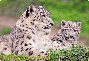 Рассказать хочу вам, всем,  О самой красивой кошке на свете!  Ирбис – кошка снежная,  Учёными мало известная.  Живёт высоко в горах,  Устраивает логово в камнях.  Кошка-ирбис – заботливая мама,  За детьми следит неустанно.  Днём катается с ними с горки,  Ночью их укрывает хвостом в норке.  Не путайте с леопардом и рысью:  У рыси на ушках есть тёмные кисти,  У леопарда цвет шерсти другой,  Снежный барс – совсем не такой!  Шерсть у него длинная, пушистая,  Как ни у одного из хищников.  Цвет шерсти – светло-серый,  По нему чёрные пятна рассеяны.  Лапы массивные, широкие.  Ушки закруглённые, короткие.  Ирбис – барс снежный,  Кстати, довольно-таки любезный.  Если человек ему зла не желает –  На людей он никогда не нападает!  Барс снежный занесён в Красную книгу,  Потому что совсем исчезает из виду.  В России барсов осталось штук двести,  Давайте поможем этим животным вместе.   Автор: Данил Костин, ученик 2 класса  средней школы посёлка Локня Псковской области.      фото 2
