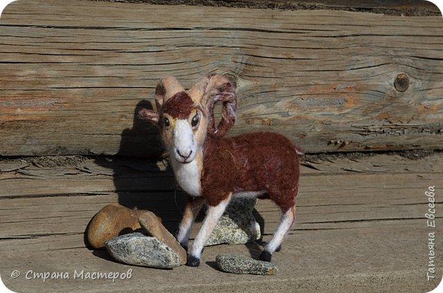 Добрый день, уважаемые жители Страны Мастеров! Предлагаю Вашему вниманию очередную поделку сделанную в технике сухого валяния из шерсти. На этот раз - Алтайский горный баран или аргали, а также алтайский АРХАР. Алтайское название - кочкор.  Ovis ammon ammon (Linnaeus, 1758) Отряд Artiodactyla - Парнокопытные Семейство Bovidae - Полорогие фото 21