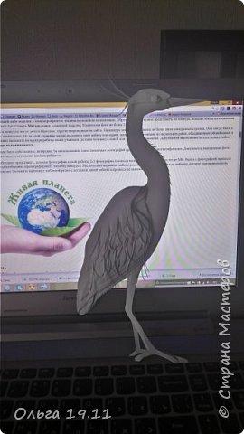 Серая цапля - санитар водоёмов. ( http://animalreader.ru/seraya-tsaplya-sanitar-vodoemov.html)  Вес взрослой серой цапли достигает 1,5 кг, а некоторые экземпляры вырастают и до 2 кг. Размах крыльев птицы составляет 1,5 – 1,75 м, а длина тела до 102 см. фото 13