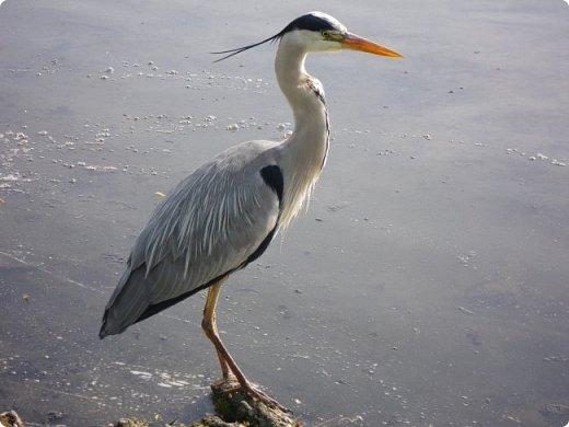Серая цапля - санитар водоёмов. ( http://animalreader.ru/seraya-tsaplya-sanitar-vodoemov.html)  Вес взрослой серой цапли достигает 1,5 кг, а некоторые экземпляры вырастают и до 2 кг. Размах крыльев птицы составляет 1,5 – 1,75 м, а длина тела до 102 см. фото 4