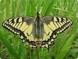 Великий естествоиспытатель Карл Линней назвал эту бабочку в честь мифического героя Троянской войны знаменитого врача Махаона, облегчавшего страдания и спасшего жизнь многим раненым воинам. Крупная бабочка (70—90 мм). На ярко-жёлтых крыльях махаона выделяются зачернённые жилки и широкая чёрная кайма с волнистым внутренним и зубчатым наружным краями. По кайме проходит перевязь синего напыления, особенно яркого на заднем крыле, а по внешнему краю — перевязи из жёлтых пятен-лунок. Корневая область переднего крыла чёрная с жёлтым напылением. Заднее крыло украшено ярко-красным округлым пятном и чёрным хвостиком. Окраска верхней и нижней стороны крыльев похожа, испод немного светлее. Бабочки летнего поколения имеют более бледную окраску, чем весенние. Неутомимая бабочка, махаон редко садится надолго и даже во время питания на цветах часто машет крыльями.  Распространена по всей Европе, в Великобритании чаще в болотах Восточной Англии. Обитает на лесных полянах, вырубках, лугах. Лет в мае — июне и в июле — августе. Предпочитает открытые места. Откладка яиц и питание гусениц чаще на зонтичных, сложноцветных. Бабочки питаются на цветах. Зимуют на стадии куколки. Кормовое растение: фенхель, петрушка и другие зонтичные. Встречается редко. Считается, что численность сокращается, хотя отмечается увеличение числа встреч в некоторых местах. Меры охраны не принимались. Необходимые меры охраны: запрет любительского коллекционирования, регламентация химических обработок, сохранение мест обитания. фото 6