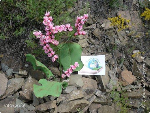 """Природа Алтая уникальна. Удивительное сочетание природных условий создало неповторимый облик его ландшафтов. Здесь можно встретить и сочные, пестрящие разнотравьем луга, и иссушенные зноем степи, унылые горные тундры и роскошные хвойные леса.  Семейство камнеломковых – Saxifragaceae Juss Народное название: монгольский, или чагирский чай.  Бадан толстолистный – многолетнее травянистое растение семейства камнеломковых. Растет на Алтае – по склонам гор, чаще северным, на каменистых почвах, глыбах, скалах, а также в темнохвойных (кедровых, пихтовых) и лиственных лесах. Благодаря ветвлению корневища он образует скученные сплошные заросли.  Лекарственные травы и растения Алтая Автор: Татьяна Злобина """"Целительные силы Алтая"""" фото 13"""