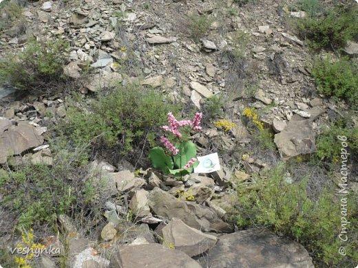 """Природа Алтая уникальна. Удивительное сочетание природных условий создало неповторимый облик его ландшафтов. Здесь можно встретить и сочные, пестрящие разнотравьем луга, и иссушенные зноем степи, унылые горные тундры и роскошные хвойные леса.  Семейство камнеломковых – Saxifragaceae Juss Народное название: монгольский, или чагирский чай.  Бадан толстолистный – многолетнее травянистое растение семейства камнеломковых. Растет на Алтае – по склонам гор, чаще северным, на каменистых почвах, глыбах, скалах, а также в темнохвойных (кедровых, пихтовых) и лиственных лесах. Благодаря ветвлению корневища он образует скученные сплошные заросли.  Лекарственные травы и растения Алтая Автор: Татьяна Злобина """"Целительные силы Алтая"""" фото 12"""