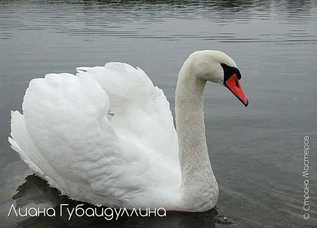 Белый лебедь-шипун  фото 11