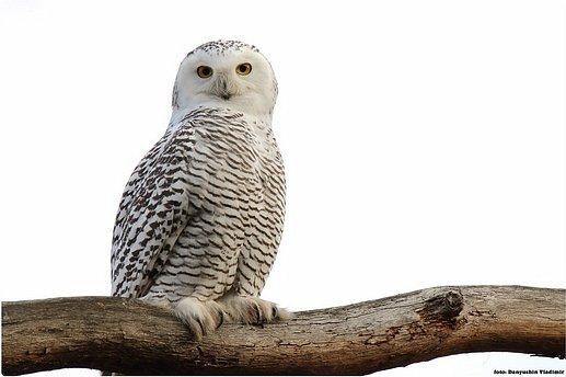 Долго обсуждали и выбирали объект воплощения.  Зарину привлекла полярная сова с ее белоснежным оперением и ярко-желтыми глазами. Панно выполнено в технике кинусайга. фото 2