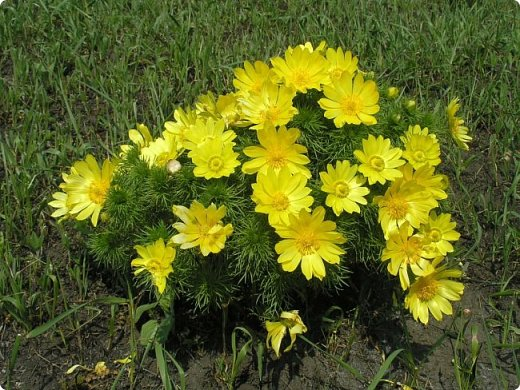 Адонис весенний - горицвет весенний, его яркие звездочки среди первых расцветают в лесу по весне. Но цветет он недолго, всего несколько недель.  фото 11
