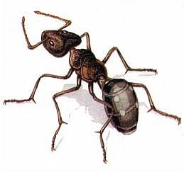 Продолжаю показывать работы моих девочек. На этот раз, будем знакомится с муравьём Долиходерус сибирский. При создании работы читали и смотрели только Красную книгу Алтая. фото 2