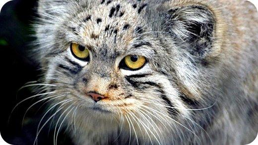 Моя работа посвящена манулу - дикому коту. Второе название этого животного палласов кот. По размерам похож на домашних кошек.  Говорят, что это самый медлительный и неповоротливый из всех диких котов, не умеет быстро бегать. Но мех у него самый пушистый и густой среди кошачьих. И еще кажется, будто мех припорошен снегом.  Взгляд исподлобья. На щеках - бакенбарды. Глаза желтые. Зрачки остаются круглыми.    фото 12