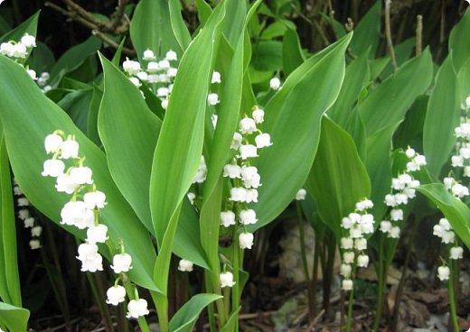 Дашин любимый цветок, который занесён в Красную книгу Саратовской области- Ландыш. Даша решила его изобразить батиком.  фото 2