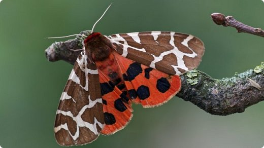 Бабочка медведица -кайа фото 2
