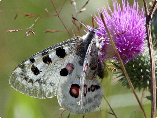 Вдохновителем и основным объектом моей работы стала бабочка необыкновенной красоты со звучным именем Аполлон обыкновенный. Отношение к бабочкам всегда было особенное, что подтверждается и детскими сказочными историями, и мифами для взрослых. Это неудивительно, потому как всем без исключения бабочкам свойственны красота, лёгкость, чистота и нежность. Во многих культурах образ бабочки связан с перерождениями и превращениями после смерти, а так же с понятиями души, любви и счастья. в германской и скандинавской мифологиях духи воздуха, или эльфы, изображались в виде маленьких человечков с крылышками бабочек; по легенде, которая пришла к нам из Древней Индии, бабочки – это души, улетевшие на небеса. Отсюда и пошел обычай, который называется «шепот желания». Если Вы поймали бабочку, то нужно прошептать ей свою мечту. Она не умеет говорить, поэтому сохранит Ваше желание и на своих крылышках унесет его прямо на небеса; славяне верили, что чистые и непорочные души возвращаются в наш мир в виде дневных бабочек. А христиане часто изображали это насекомое в руках у младенца Иисуса, что является символом воскрешения души; по некоторым источникам, именно в древнеяпонской классике впервые описана традиция дарить живых бабочек на свадьбу и выпускать их в небо. Теперь в Японии бабочка – это символ любви и талисман семейной жизни; у буддистов к нежной порхающей красавице относятся с большим почтением, так как именно к ней Будда пришел со своей проповедью. фото 2