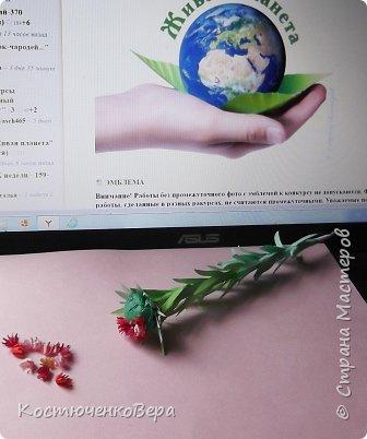 Родиола морозная или Красная щетка очень редкое растение. Щеткой прозвали за многочисленные листья на стеблях растения или за жесткость куртинок, напоминающих щётку. Это растение я нашла в Красной книге Горного Алтая http://www.plantarium.ru/page/redbook/id/65.html. Высота ок. 20 см, соцветие собрано в густой щиток. Цветки  могут быть розовые, красные, желтые, кремовые.  В одном растение несколько стеблей собранных в пучок - букет, прямые или слегка изогнутые. Листья могут быть разных оттенков зеленого или красного цвета. Растение целебное. В медицинских целях используется корень. Предпочитает расти в высокогорье, подходит для альпийских горок.  фото 12