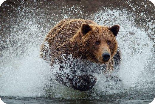Бурый медведь фото 13