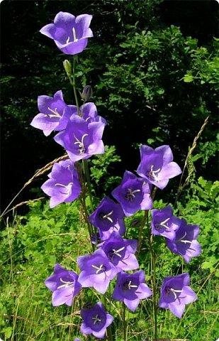 Колокольчик персиколистный (Campanula persicifolia L.) — один из красивейших цветков семейства колокольчиковых.  фото 3