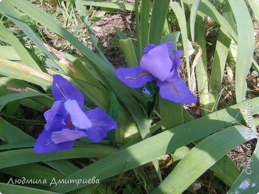 Ирис, или Касатик (лат. iris) — род многолетних корневищных растений семейства Касатиковые, или Ирисовые (Iridaceae). Ирисы встречаются на всех континентах. Род насчитывает около 800 видов с богатейшим разнообразием форм и оттенков.  Ирису посвящены легенды многих стран. Легенда из Греции древней пришла До наших времён потихоньку дошла… Согласно легенде: был бог Прометей, Огонь он с Олимпа принёс для людей.  Небесный огонь преподнёс им как дар, Похитив его, он надежду всем дал. И вдруг на земле заиграли цвета И радугой яркой ушли в небеса…  Закат отгорел, да и день уж угас, Но радуга цветом всё радует глаз. Рассвет наступил, снова солнце пришло… Свечение ослабло и скоро ушло…  На месте такой неземной красоты, Цветы вдруг возникли и стали цвести! Название «ирис» им было дано И с радугой этой созвучно оно. (Наталия Ушенина)  фото 17