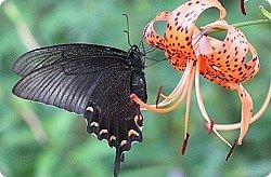 Богата и разнообразна фауна Приморья. Особенно красивы тут бабочки, которых насчитывается на Дальнем Востоке более 2000 видов. Многие из них эндемики, среди них сине-зелено-черный махаон Маака (Papilio maackii Menetries), кроме Приморья эту бабочку можно встретить только не Курильских островах, в Среднем Приамурье, Китае, Японии и Корее. У махаона Маака, кстати, не одно название. Парусник Маака.             Хвостоносец Маака, все это названия одной самой крупной дневной бабочки нашей страны, которая своей красотой превосходит многих тропических сородичей. Парусником эту великолепную бабочку называют потому, что она относится к большому семейству парусников (Papilionidae), ну а свое видовое свое название бабочка получила по имени русского исследователя-натуралиста Р.К. Маака.  фото 15