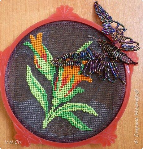 Богата и разнообразна фауна Приморья. Особенно красивы тут бабочки, которых насчитывается на Дальнем Востоке более 2000 видов. Многие из них эндемики, среди них сине-зелено-черный махаон Маака (Papilio maackii Menetries), кроме Приморья эту бабочку можно встретить только не Курильских островах, в Среднем Приамурье, Китае, Японии и Корее. У махаона Маака, кстати, не одно название. Парусник Маака.             Хвостоносец Маака, все это названия одной самой крупной дневной бабочки нашей страны, которая своей красотой превосходит многих тропических сородичей. Парусником эту великолепную бабочку называют потому, что она относится к большому семейству парусников (Papilionidae), ну а свое видовое свое название бабочка получила по имени русского исследователя-натуралиста Р.К. Маака.  фото 1