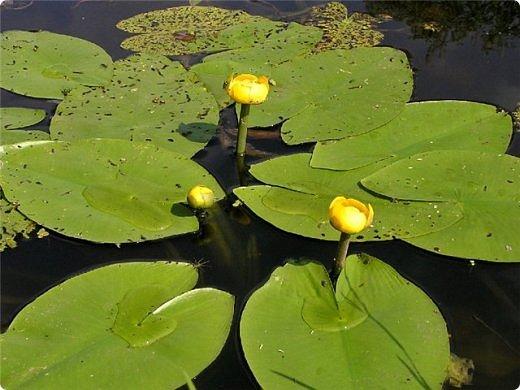Я живу на Южном Урале на берегу пруда. В прошлом году в нашем пруду появились жёлтые кувшинки. Вот их то - я и решила связать, т.к. они занесены в красную книгу. фото 2