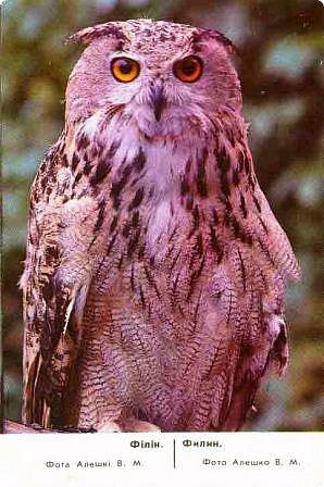 """Филин- редкая птица. Она в Красной книге не только Горного Алтая, но и других регионов России и стран. Крупная птица, до 4-х кг самка, самцы меньше, размах крыльев до 2-х метров. Отличительная особенность птицы """"ушки""""- пучки перьев на голове, этим филин отличается от совы, хотя и сам он - сова. фото 3"""