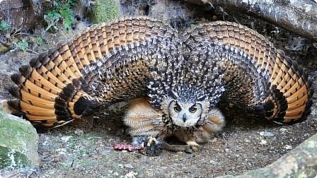 """Филин- редкая птица. Она в Красной книге не только Горного Алтая, но и других регионов России и стран. Крупная птица, до 4-х кг самка, самцы меньше, размах крыльев до 2-х метров. Отличительная особенность птицы """"ушки""""- пучки перьев на голове, этим филин отличается от совы, хотя и сам он - сова. фото 9"""