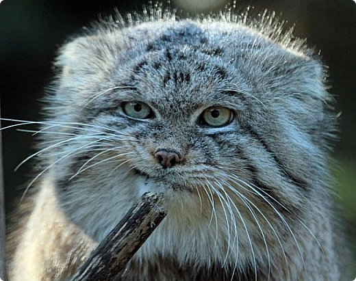 Манул - это хищное млекопитающее семейства кошачьих. У манула плотное, массивное тело на коротких толстых лапах и очень густая шерстью. Шерсть настолько густая, что на один квадратный сантиметр приходится 9000 волосков. У манула большие круглые зрачки и маленькие округлые ушки, благодаря которым он может выражать огромное количество эмоций.  Своё второе название — палла́сов кот — он получил в честь немецкого натуралиста Петера Палласа, который впервые описал манула в XVIII веке. Синонимичное латинское название Otocolobus происходит от греческого us, otos — ухо, kolobos — уродливый, то есть «уродливое ухо».  фото 9