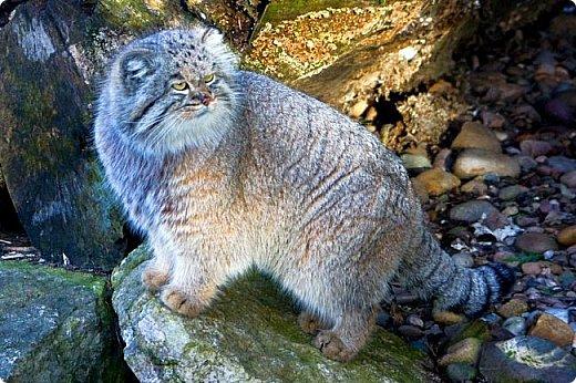 Манул - это хищное млекопитающее семейства кошачьих. У манула плотное, массивное тело на коротких толстых лапах и очень густая шерстью. Шерсть настолько густая, что на один квадратный сантиметр приходится 9000 волосков. У манула большие круглые зрачки и маленькие округлые ушки, благодаря которым он может выражать огромное количество эмоций.  Своё второе название — палла́сов кот — он получил в честь немецкого натуралиста Петера Палласа, который впервые описал манула в XVIII веке. Синонимичное латинское название Otocolobus происходит от греческого us, otos — ухо, kolobos — уродливый, то есть «уродливое ухо».  фото 10