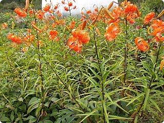 Ланцетолистная (тигровая) лилия Среди множества видов лилий есть тигровые лилии.   Лилия тигровая – травянистое многолетнее растение, достигающее высоты 1,5 метров. Имеет ползучее корневище с небольшими белыми яйцевидными луковицами. Стебель прямостоячий, бурого цвета, цилиндрический, с бело-войлочным опушением. Листья ланцетовидные, с черными мелкими шаровидными луковицами в ложах у стебля. Цветки крупные, чалмовидные, до 9 см в диаметре, оранжевые с темно-фиолетовыми пятнышками. Плод – коробочка.Тычинки имеют ярко красные пыльники.                                                                                                                                                                                                                                                                                                                                                                    фото 18
