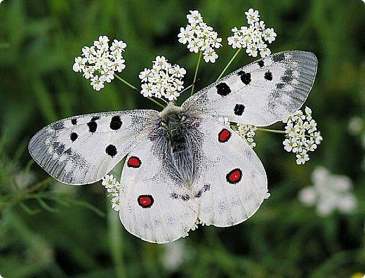 Бабочка - аполлон, которую назвали в честь древнегреческого бога Аполлона. фото 2