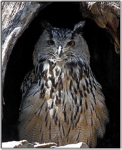 Филин - очень красивая и полезная для степи и леса птица! фото 2