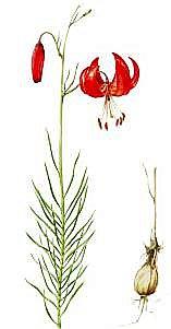 Я очень люблю цветы, занимаюсь изготовлением духов из цветочных экстрактов (я делаю их сам). Чтобы узнать, какие цветы нельзя использовать в парфюмерии из-за их редкости, я читаю Красную книгу Красноярского края. Там я увидел лилию узколистную. фото 2