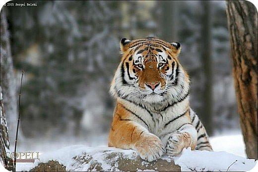 Амурский тигр - редкий подвид, сохранившийся лишь на территории России. Мы решили сделать тигра из крупы, использовали чечевицу красную, покрасила её для полосок в чёрный цвет акриловыми красками, макароны паутинка также покрашены в чёрный цвет. фото 2