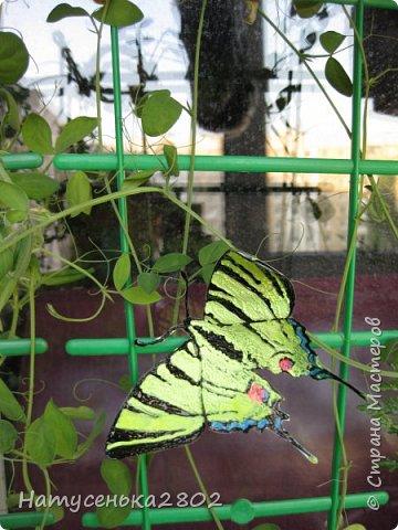 Бабочка Подалирий фото 6
