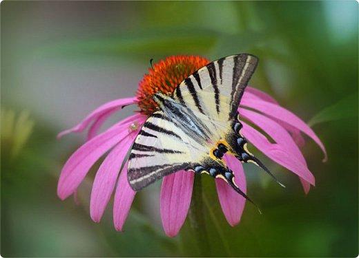 Бабочка Подалирий фото 3