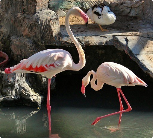 Внешний вид фламинго — статной птицы, принадлежащей к семейству фламинговых, замечателен. Гибкая, почти лебединая шея, длинные ноги, мягкие пёрышки, а главное, окрас: белый, нежно-розовый, красный, плюс вариации этих цветов.  Хвост у фламинго короткий, а вот клюв – массивный, выгнутый вниз. Голова – небольшая, на ней есть неоперенные участки – кольцо вокруг глаз и подбородок.  В течение светового дня фламинго отыскивает пищу. Важно передвигаясь на своих длинных, как ходули, ногах, наклонив туловище, на мелководье их внимание привлекают сине-зеленые водоросли, мелкие ракообразные, личинки насекомых.  Клюв фламинго нередко называют «цедилкой». Ухватив добычу, птицы размахивают головой, отделяя пищу от воды.  Всем известна красивая песня под названием «Розовый фламинго». А почему фламинго розовый, или красноватый? Такую окраску оперению этой птице придают красящие вещества липохромы, которые фламингообразные получают вместе с пищей.  Перекусив, птицы бредут в обратном направлении. В середине дня взрослые фламинго занимаются гигиеническими процедурами – чистят клювом свои перья.  Живут фламинго в башенках. Башенки – это узкие гнёзда, в них птицы откладывают яйца. Чтобы поместиться в гнезде, фламинго поджимают под себя свои длинные ноги.  Поза при отдыхе у фламинго своеобразна. Как правило, птица стоит на одной ноге, закинув голову на спину. У природы свои причуды. фото 2