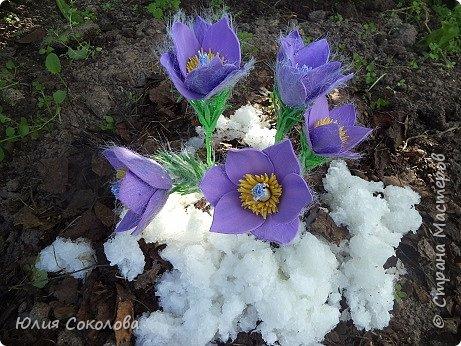 У каждого из нас есть любимое растение. Для меня это сон-трава. Необычное растение. Я всего несколько раз видела его в природе. У нас оно  очень редкое.Именно поэтому, прочитав условия конкурса, я сразу же решила, какое растение я буду делать. Когда в лесах еще лежит последний зимний снег, на оттаявшей земле местами появляются необычные цветы, похожие на маленькие тюльпаны, фиолетово-лилового цвета с желтой серединкой, пушистым стебельком и пушистыми же листьями. Иногда цветы окрашены в светло-сиреневые, желтоватые или розово-белые тона. За столь раннее, почти зимнее появление на свет этот цветок еще называют подснежником. Эти многолетние травянистые растения семейства Лютиковых распространены в Северном полушарии и насчитывают около 40 видов. Некоторые виды прострела занесены в Красную книгу.  фото 7