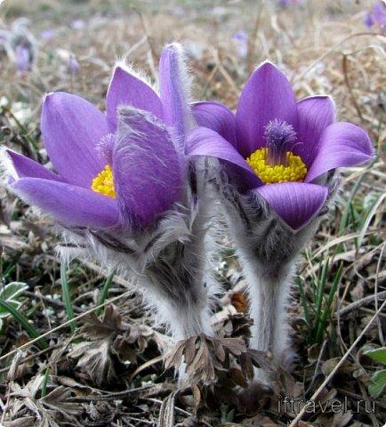 У каждого из нас есть любимое растение. Для меня это сон-трава. Необычное растение. Я всего несколько раз видела его в природе. У нас оно  очень редкое.Именно поэтому, прочитав условия конкурса, я сразу же решила, какое растение я буду делать. Когда в лесах еще лежит последний зимний снег, на оттаявшей земле местами появляются необычные цветы, похожие на маленькие тюльпаны, фиолетово-лилового цвета с желтой серединкой, пушистым стебельком и пушистыми же листьями. Иногда цветы окрашены в светло-сиреневые, желтоватые или розово-белые тона. За столь раннее, почти зимнее появление на свет этот цветок еще называют подснежником. Эти многолетние травянистые растения семейства Лютиковых распространены в Северном полушарии и насчитывают около 40 видов. Некоторые виды прострела занесены в Красную книгу.  фото 2