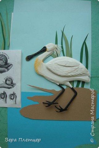 Колпица – это крупная (до 1 м высотой, весом около 2 кг) белая птица с заметно расширяющимся на конце жёлтым клювом. Этот удивительный клюв не похож ни на клюв ибиса, ни ка клюв аиста, ни на клюв цапли. Больше всего он напоминает щипцы для сахара. В остальном колпица похожа на ибиса. На голове у неё расположен белый или желтоватый хохолок из перьев. Шея у колпицы длинная, длинные и её ноги. Кстати, ноги у колпицы чёрные, у некоторых видов (например, у розовой колпицы) — красные. На лапах заметны перепонки для плавания. Несмотря на свою экзотичность, она весьма комфортно чувствует себя даже в умеренном климате. Схожесть во внешнем виде с аистом у колпицы неспроста: эта птица относится к отряду Аистообразные.  В мире существует всего лишь шесть видов этих прекрасных птиц. Летит колпица, вытянув ноги и немного прогнув достаточно длинную шею. Иногда при полёте птица парит.  фото 8