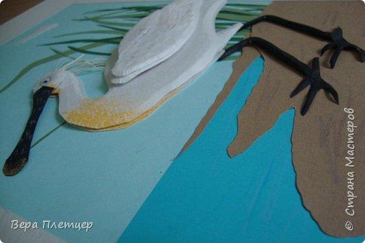 Колпица – это крупная (до 1 м высотой, весом около 2 кг) белая птица с заметно расширяющимся на конце жёлтым клювом. Этот удивительный клюв не похож ни на клюв ибиса, ни ка клюв аиста, ни на клюв цапли. Больше всего он напоминает щипцы для сахара. В остальном колпица похожа на ибиса. На голове у неё расположен белый или желтоватый хохолок из перьев. Шея у колпицы длинная, длинные и её ноги. Кстати, ноги у колпицы чёрные, у некоторых видов (например, у розовой колпицы) — красные. На лапах заметны перепонки для плавания. Несмотря на свою экзотичность, она весьма комфортно чувствует себя даже в умеренном климате. Схожесть во внешнем виде с аистом у колпицы неспроста: эта птица относится к отряду Аистообразные.  В мире существует всего лишь шесть видов этих прекрасных птиц. Летит колпица, вытянув ноги и немного прогнув достаточно длинную шею. Иногда при полёте птица парит.  фото 7