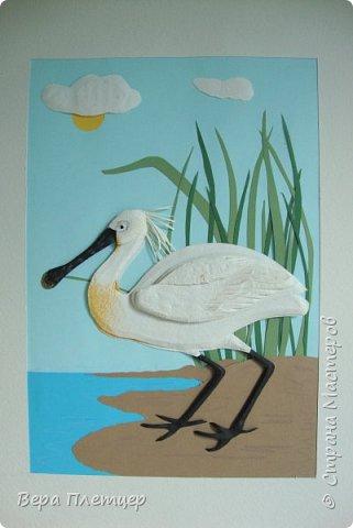 Колпица – это крупная (до 1 м высотой, весом около 2 кг) белая птица с заметно расширяющимся на конце жёлтым клювом. Этот удивительный клюв не похож ни на клюв ибиса, ни ка клюв аиста, ни на клюв цапли. Больше всего он напоминает щипцы для сахара. В остальном колпица похожа на ибиса. На голове у неё расположен белый или желтоватый хохолок из перьев. Шея у колпицы длинная, длинные и её ноги. Кстати, ноги у колпицы чёрные, у некоторых видов (например, у розовой колпицы) — красные. На лапах заметны перепонки для плавания. Несмотря на свою экзотичность, она весьма комфортно чувствует себя даже в умеренном климате. Схожесть во внешнем виде с аистом у колпицы неспроста: эта птица относится к отряду Аистообразные.  В мире существует всего лишь шесть видов этих прекрасных птиц. Летит колпица, вытянув ноги и немного прогнув достаточно длинную шею. Иногда при полёте птица парит.  фото 9