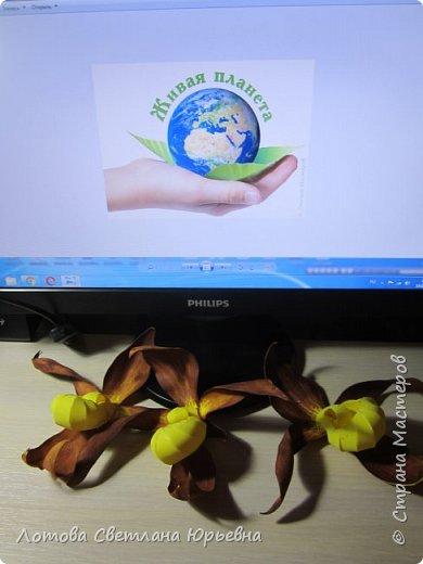Венерин башмачок настоящий -растение, внесенное в Красную книгу Чувашии, произрастает в тенистых смешанных лесах и на лужайках. У этой орхидеи ярко-желтая губа и темно-пурпурные лепестки, а форма цветка напоминает изящную женскую туфельку. Яркая окраска и эффектная форма орхидеи напоминают крылья бабочек! фото 6
