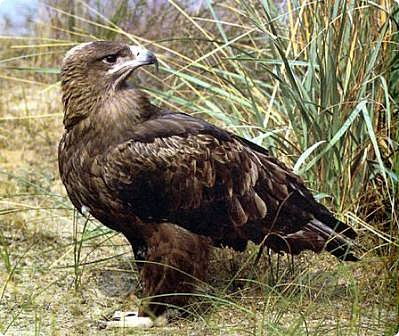 Степной орёл фото 2