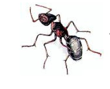 Знакомтесь - Долиходерус сибирский. Отряд Перепончатокрылые – Семейство Муравьи. фото 2